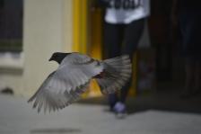 Paloma al vuelo (2)